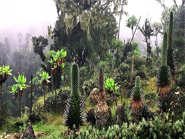 : Exotic Plant Life Ruwenzori's
